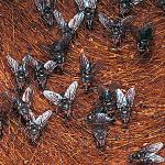 Mosca de los cuernos (Haematobia irritans)